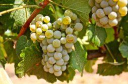 Albarino-Grape