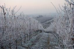 Vinice_zimní_období