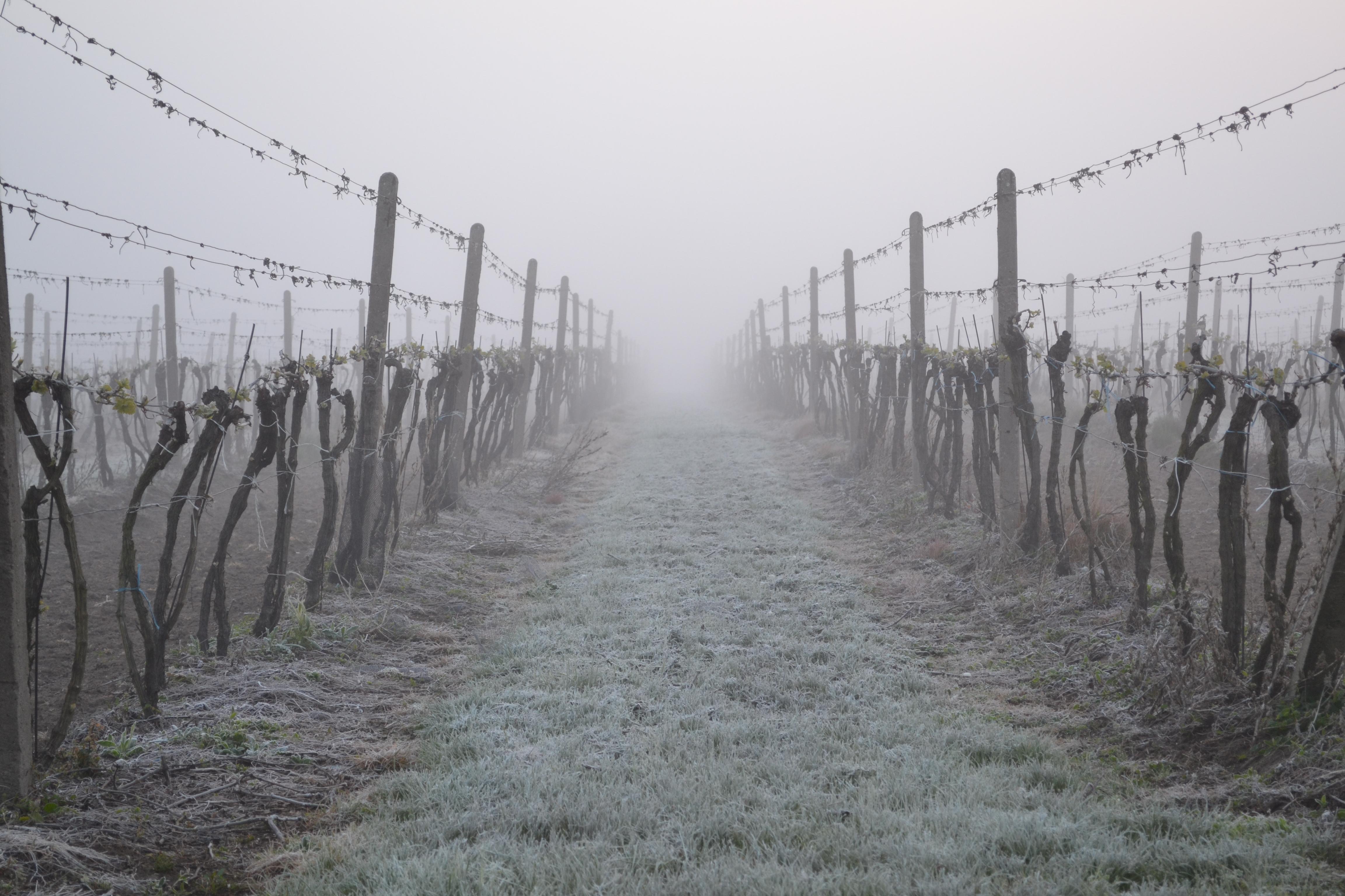 jarní mrazíky ve vinicích