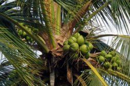 Kokosovník ořechoplodý – Cocos nucifera L.