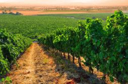 vineyard_turkey
