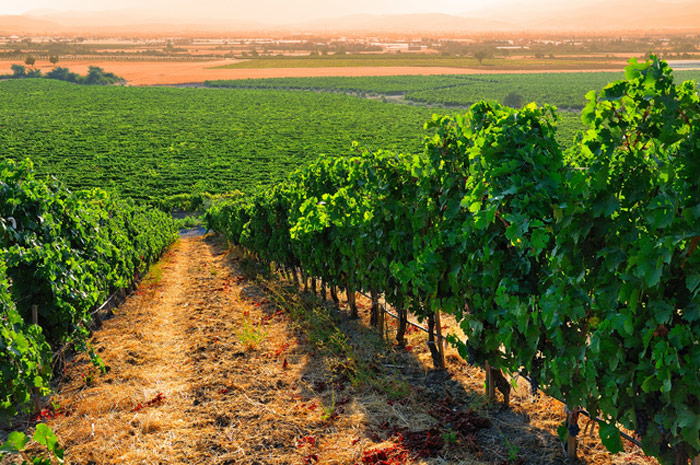 vineyard_turkey