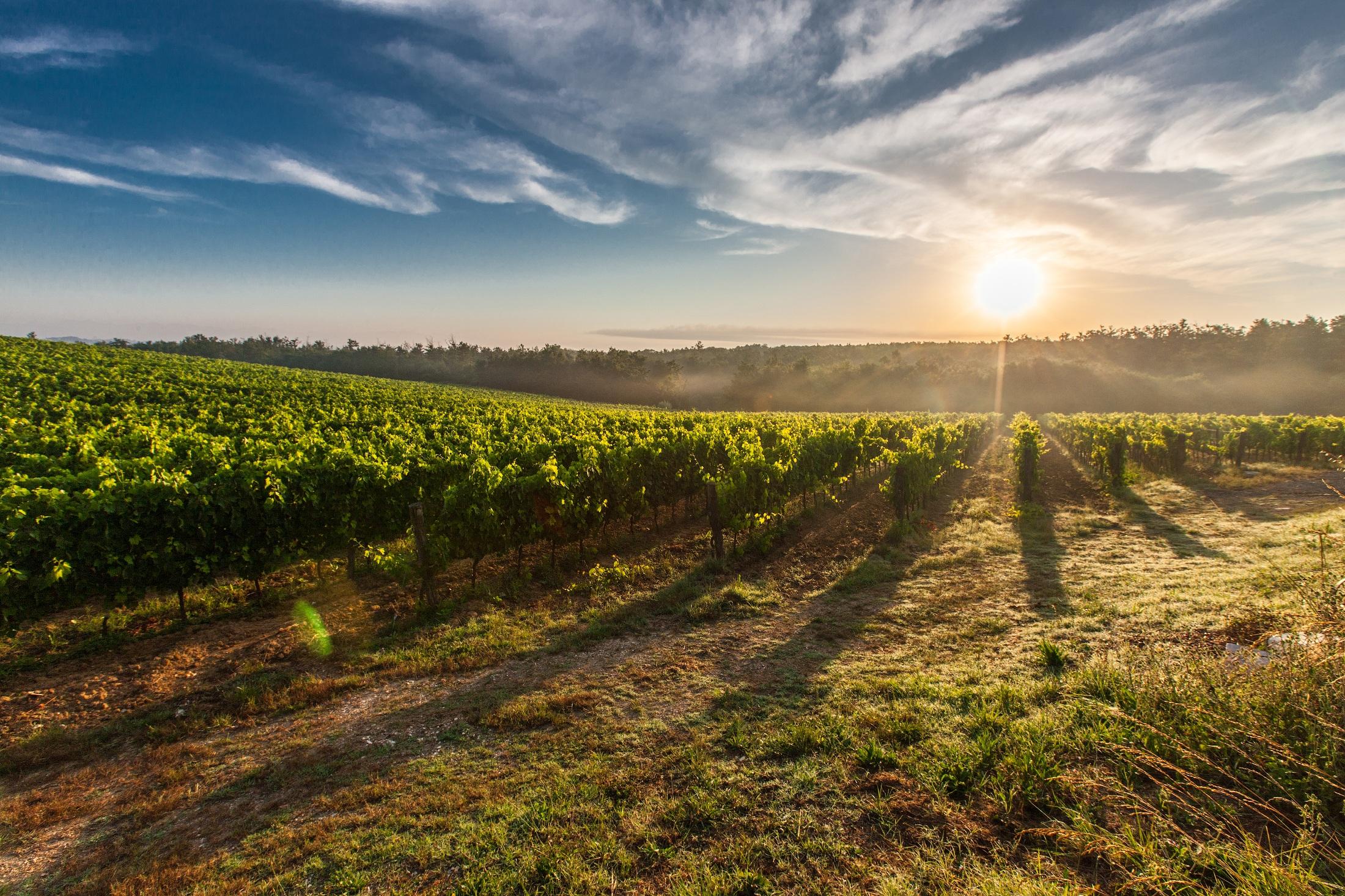 vinice_italie